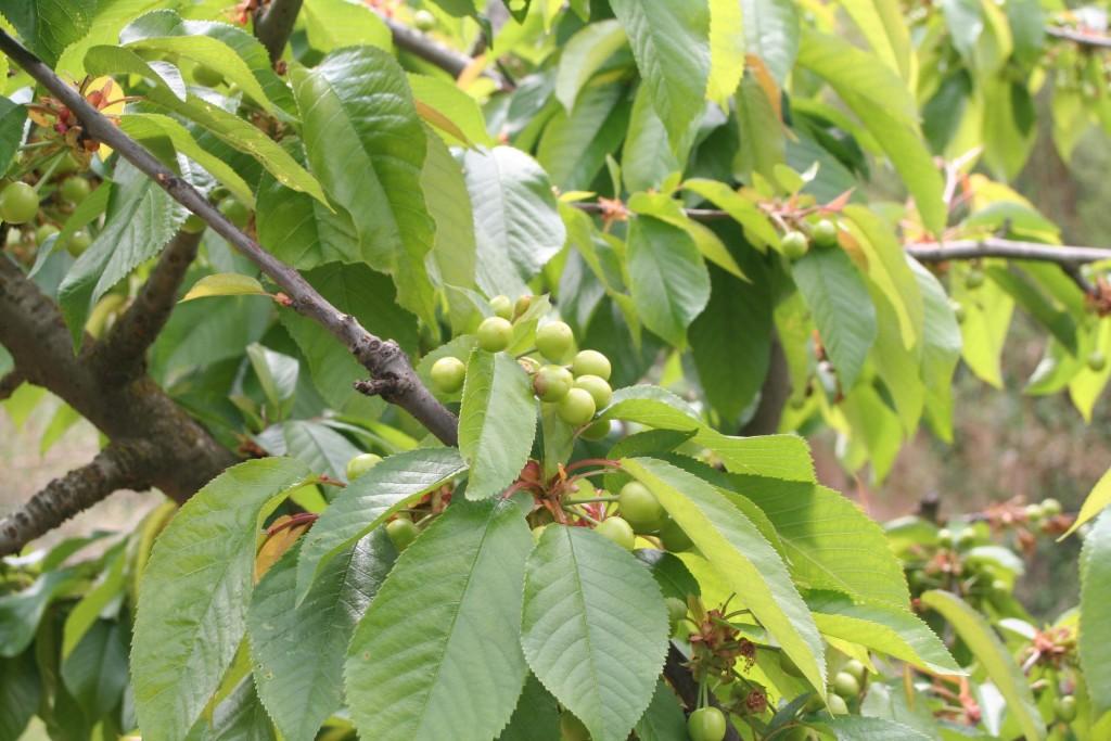 Can Perol cerezas