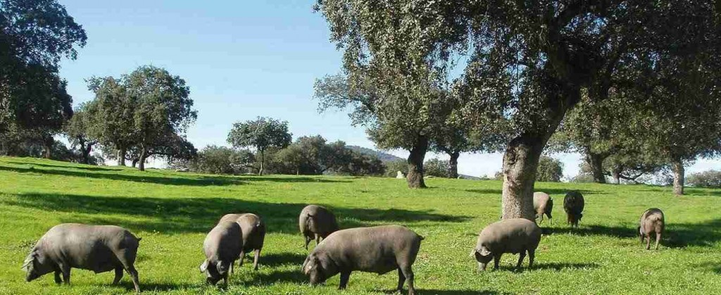 Denominaicion de Origen Dehesa de Extremadura