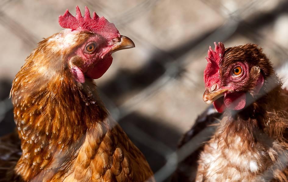 Pollos de Toñín