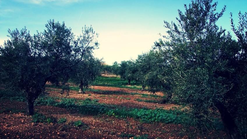 Torclum visita a los olivos