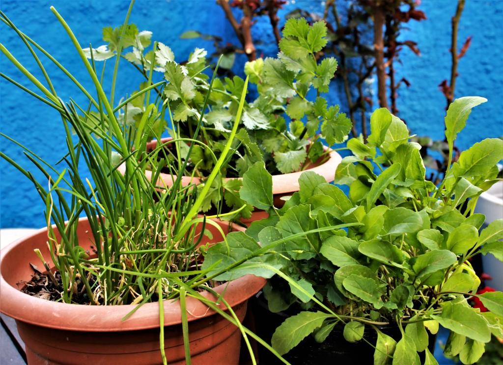 rucula cilantro cebollino muy bien