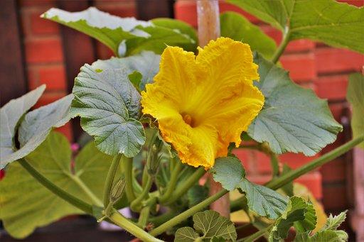 flor de calabaza2