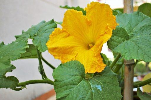 flor de calabaza4