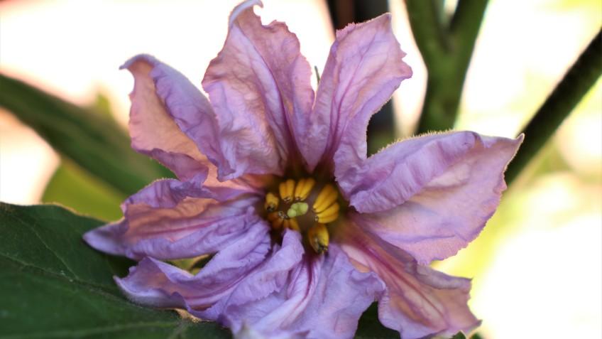 flor de calabaza7